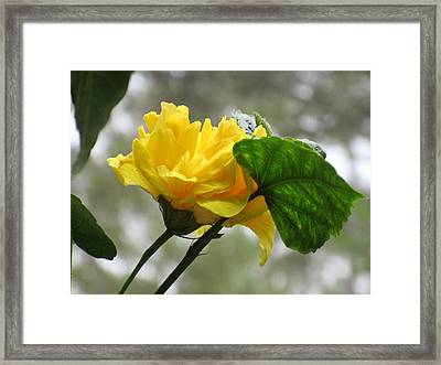 Peachy Yellow Surprise Framed Print