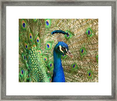 Framed Print featuring the photograph Peacock 1 by Bob and Jan Shriner