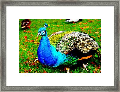 Peacock 2 Framed Print