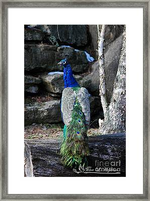 Framed Print featuring the photograph Peacock 20130107_157a by Tina Hopkins