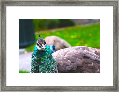 Peacock 3 Framed Print