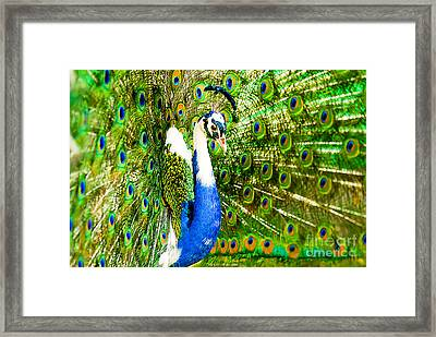 Peacock Beauty Framed Print by Syed Aqueel