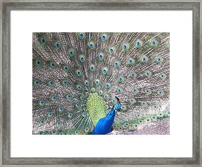 Framed Print featuring the photograph Peacock Bow by Caryl J Bohn