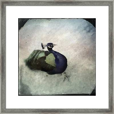 Peacock Framed Print by Bradley R Youngberg
