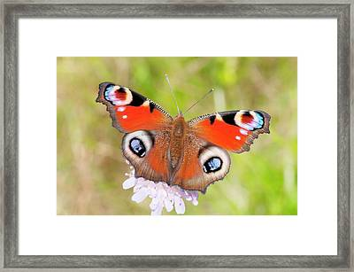Peacock Butterfly (inachis Io) Framed Print by Dr. John Brackenbury