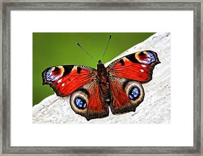 Peacock Butterfly Framed Print by Mariola Bitner