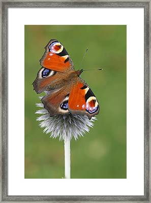 Peacock Butterfly Netherlands Framed Print by Silvia Reiche