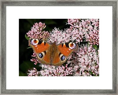 Peacock Butterfly On Hemp Agrimony Framed Print by Bob Gibbons