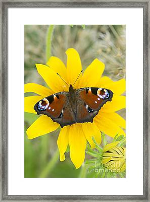 Peacock Butterfly On Rudbeckia Flower  Framed Print by Tim Gainey