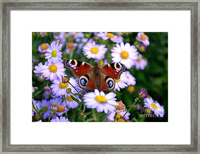 Framed Print featuring the photograph Peacock Butterfly Perched On The Daisies by Scott Lyons