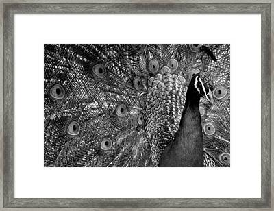 Framed Print featuring the photograph Peacock Bw by Ron White