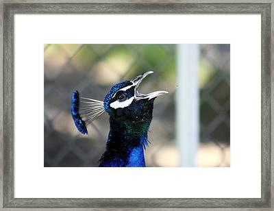 Peacock Calling Framed Print