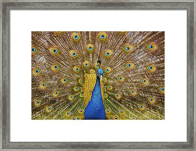 Peacock Courting Framed Print by Charles Beeler