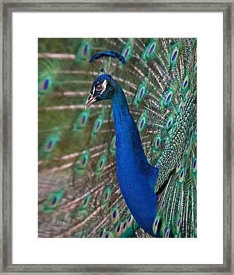 Peacock Display Framed Print by Susan Candelario