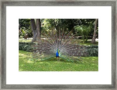 Peacock Displaying Feathers Framed Print