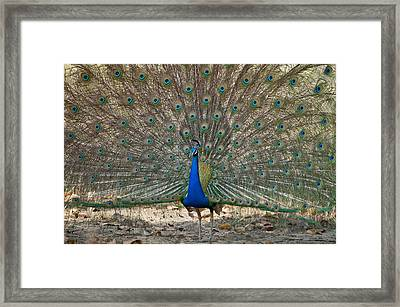 Peacock Displaying Its Plumage Framed Print