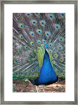 Framed Print featuring the photograph Peacock by Elizabeth Budd