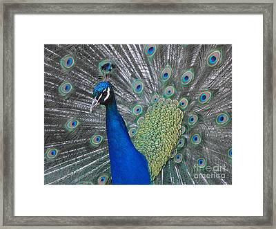 Peacock Framed Print by Erick Schmidt