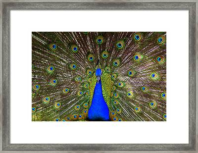 Peacock Extraordinaire  Framed Print by DerekTXFactor Creative