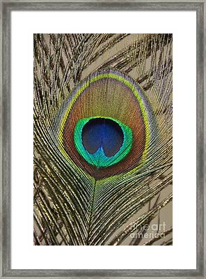 Peacock Feather Framed Print by Debra Thompson