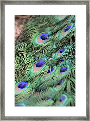 Peacock Feathers Framed Print by T C Brown