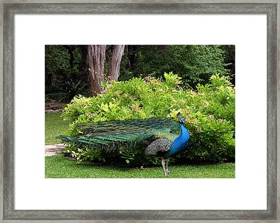Peacock In Austin Garden Framed Print by Linda Phelps