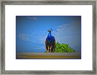 Peacock In Blue Framed Print by Sonali Gangane