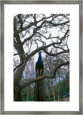 Peacock In Tree Framed Print by Alice Ramirez