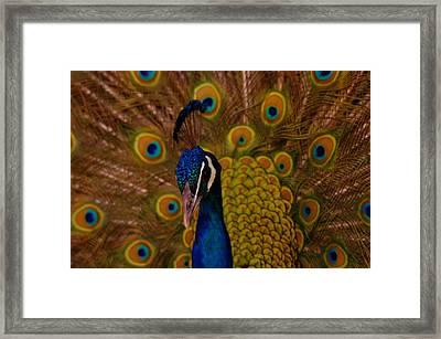 Peacock Framed Print by Jeff Swan
