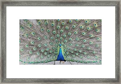 Framed Print featuring the photograph Peacock by John Telfer