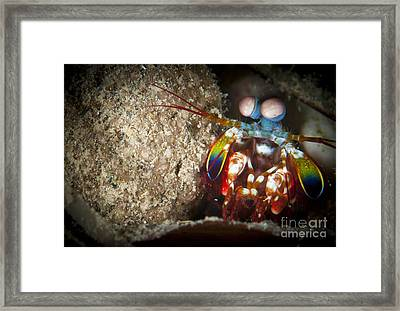 Peacock Mantis Shrimp Peering Framed Print by Steve Jones