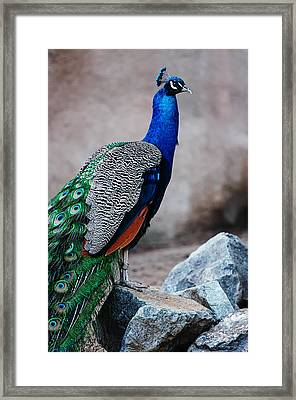 Peacock - National Bird Of India Framed Print