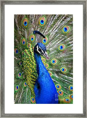 Peacock On Display Framed Print