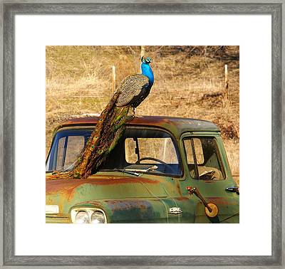 Peacock On Old Gmc Truck 3 Framed Print