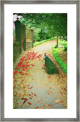 Peacock Path A Framed Print by Dulce Levitz