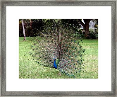 Peacock Framed Print