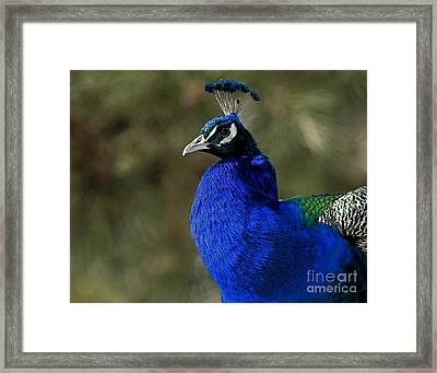 Peacock Pleasure Framed Print