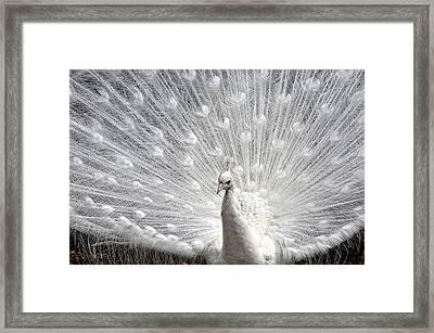 Peacock Pride Framed Print by Joanne Brown