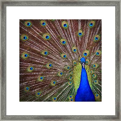 Framed Print featuring the photograph Peacock Squared by Jaki Miller