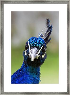 Peacock Stare Down Framed Print