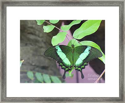 Framed Print featuring the photograph Peacock Swallowtail by Lingfai Leung