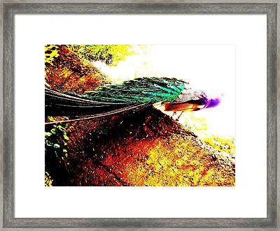 Peacock Tail Framed Print