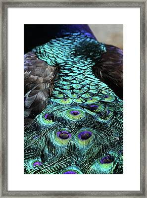 Peacock Trail Framed Print