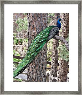 Framed Print featuring the photograph Peacock Watches The World by Diane Alexander