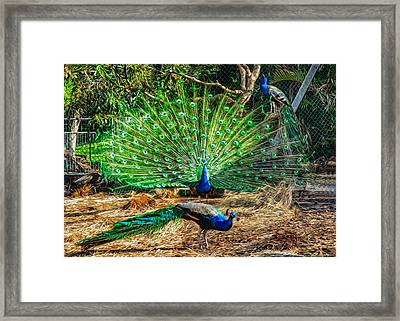Peacocking Framed Print by Omaste Witkowski