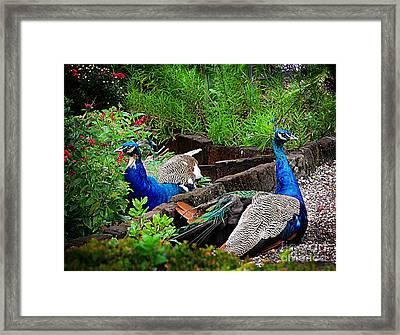 Peacocks In The Garden Framed Print by Kathleen Struckle