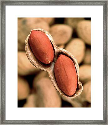 Peanuts Framed Print by Sheila Terry/science Photo Library