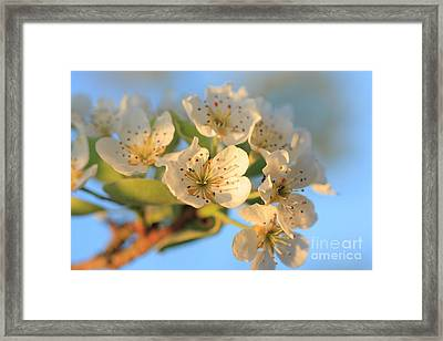 Framed Print featuring the photograph Pear Blossom 3 by Rebeka Dove