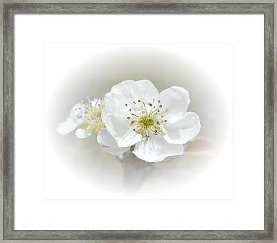 Pear Blossom Framed Print