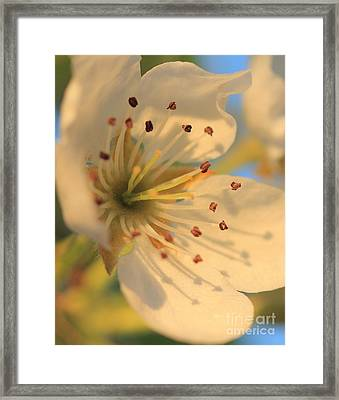 Pear Blossom Framed Print by Rebeka Dove